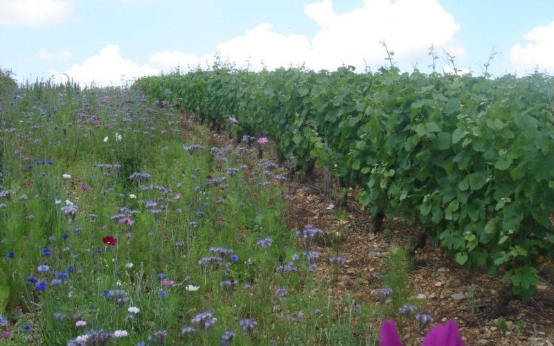 jachere-fleurie-pour-les-abeilles-a-cote-de-la-vigneJPG##jachère fleurie pour les abeilles à côté de la vigne##Pabion Daniel##
